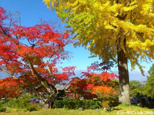 長福寺の銀杏とカエデ