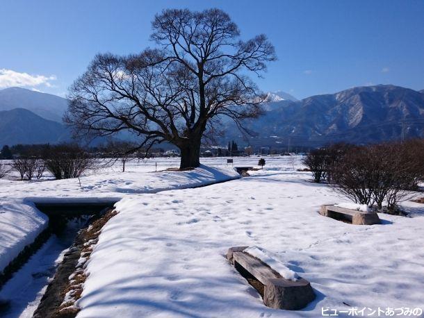 柳の巨木と常念岳