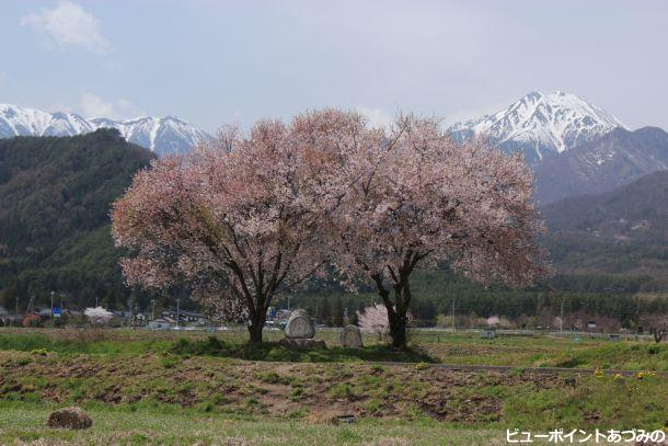 桜満開の常念道祖神