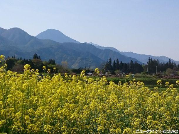 菜の花と信濃富士