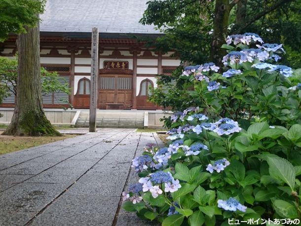 青原寺の紫陽花