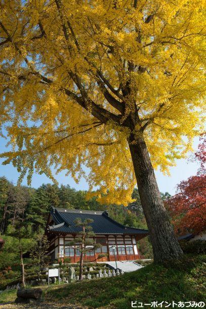 長福寺の大イチョウ