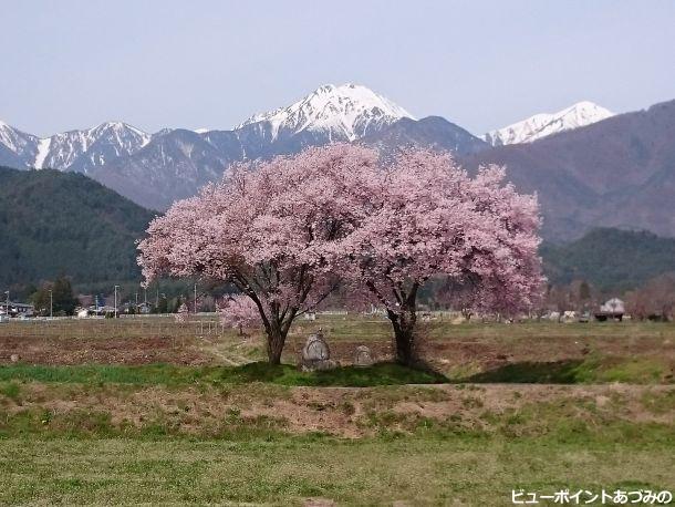 常念道祖神の桜