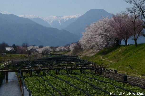 ワサビ田と桜並木