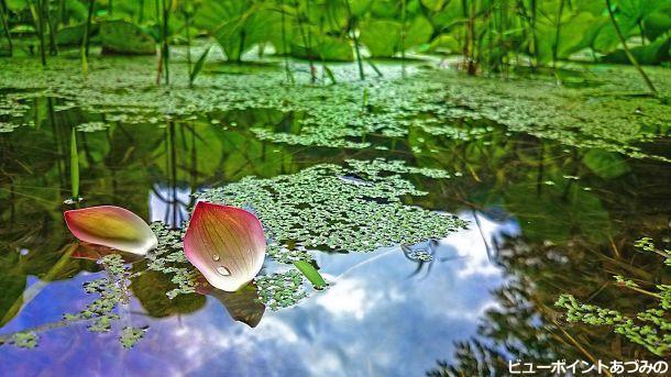 浮草とハスの花びら