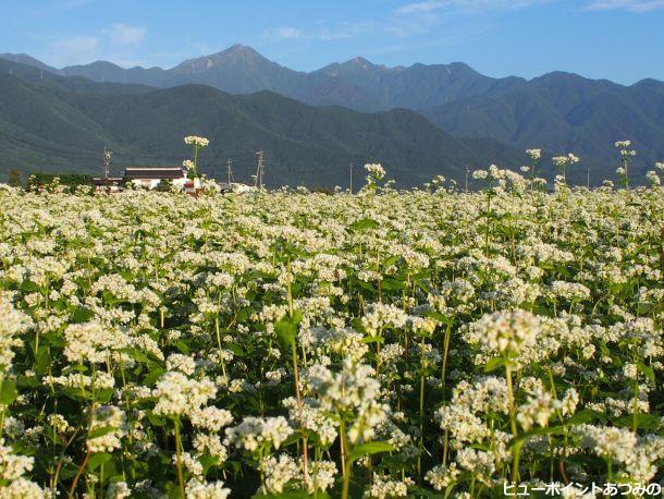 常念岳とそばの花