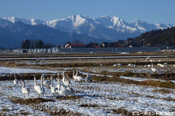 田圃で憩う白鳥