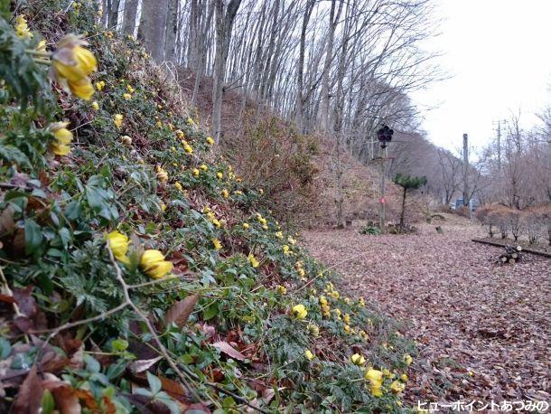 廃線敷の福寿草