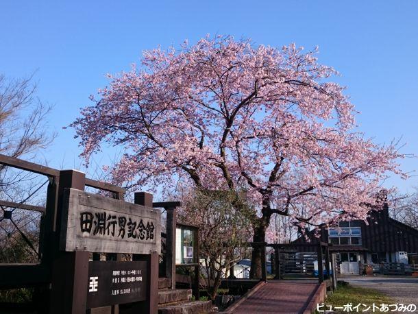 青空と百楽桜