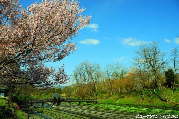 ワサビ田の春
