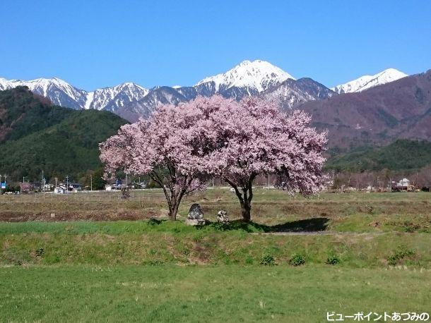 寄り添う桜
