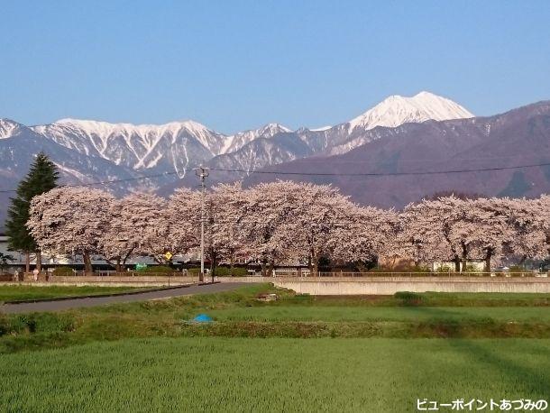桜並木と蝶常念