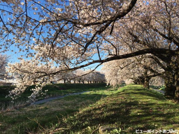 黒沢川の桜並木