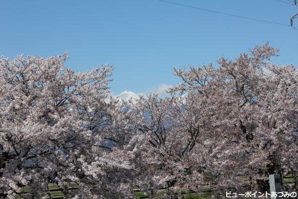 桜花を惜しむ常念岳