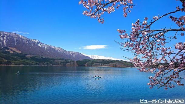 桜と青木湖