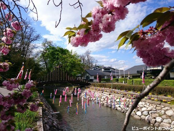 八重桜と鯉のぼり