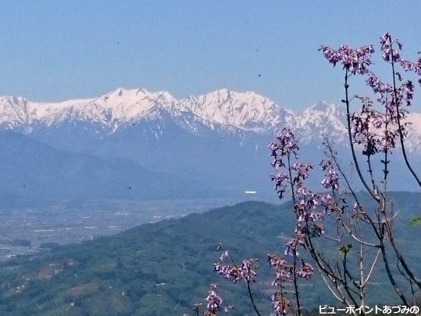 後立山連峰と桐の花