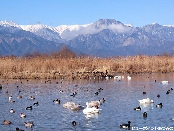 白鳥と信濃富士