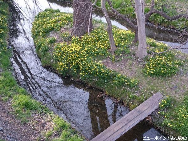 水辺を彩る立金花