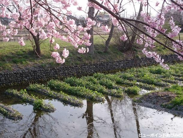 山葵と百楽桜