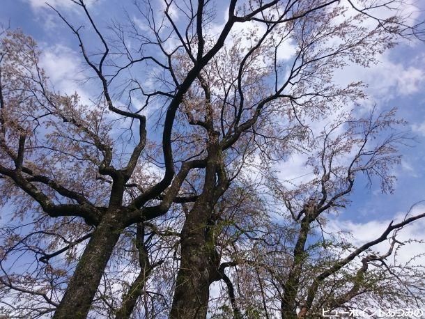 桜の大木のシルエット