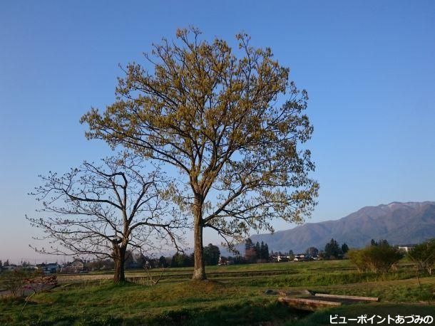 大木の芽吹き