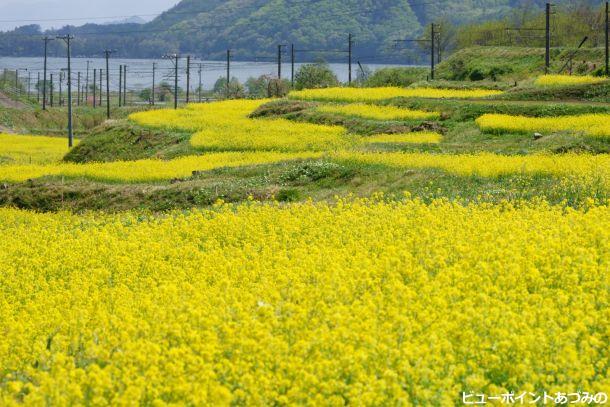 菜の花と湖