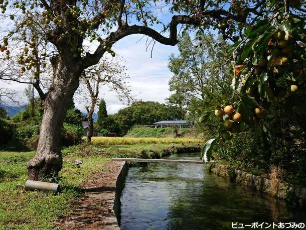 柿の木と湧水路