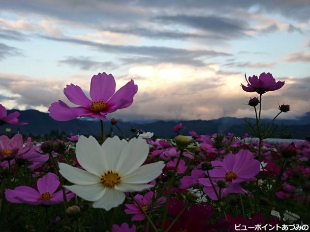 黄昏時の秋桜