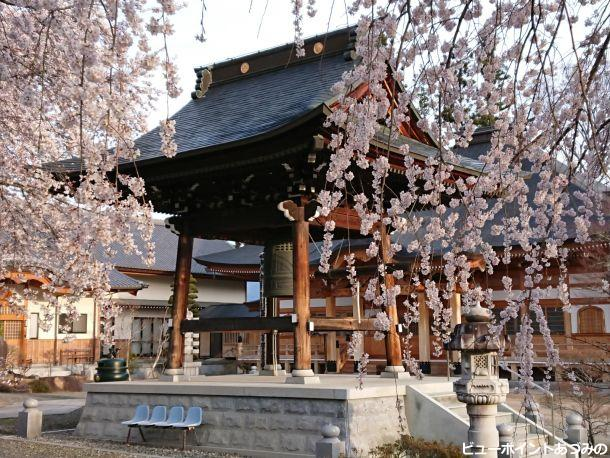 鐘楼とシダレ桜