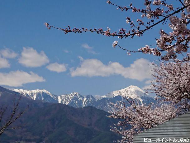 残雪の常念岳と桜