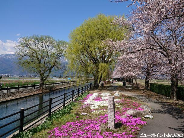 拾ヶ堰と桜と芝桜