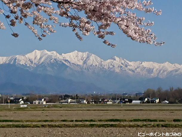 桜と後立山連峰