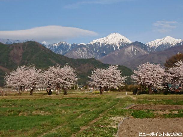 桜並木と常念岳