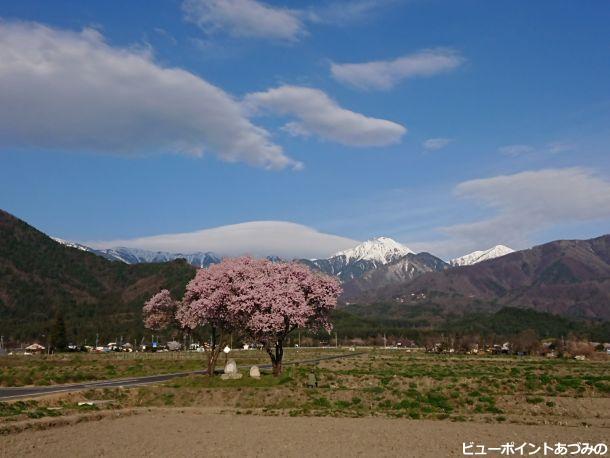 夫婦桜と常念岳