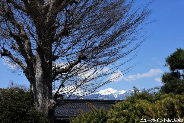 大きな欅と常念岳