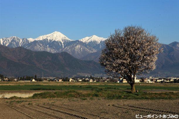 一本桜と常念岳