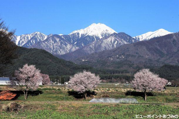 常念岳と三本桜