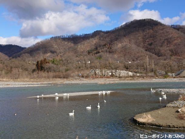 犀川の白鳥
