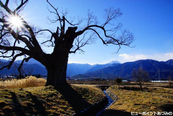 春待つ老木