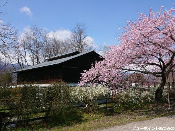 田淵記念館の百楽桜