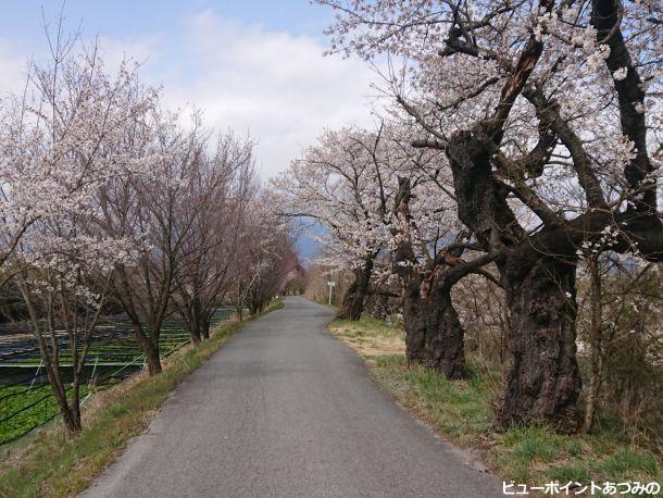 穂高川の桜並木