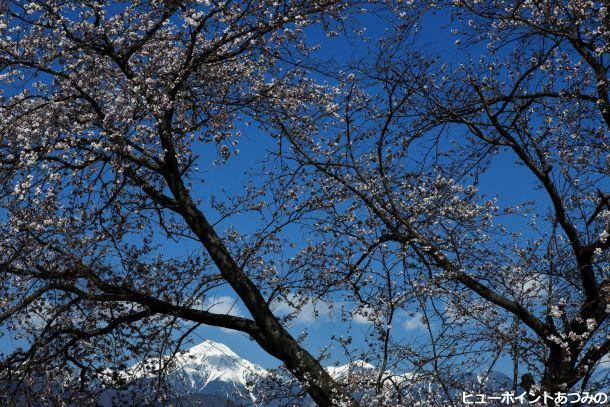 青空に桜と常念岳