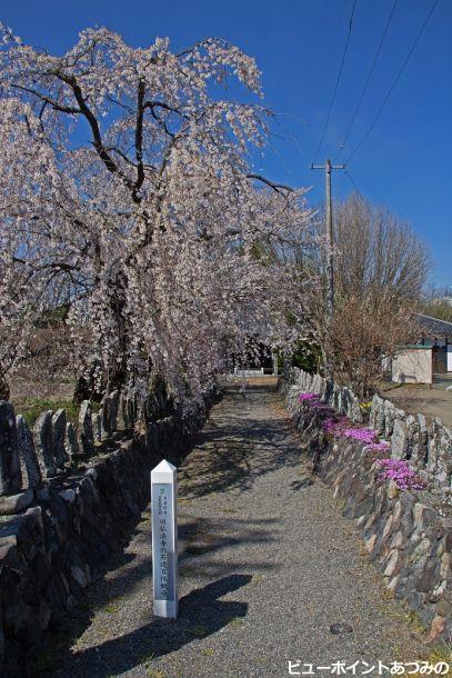 旧佛法寺の枝垂桜