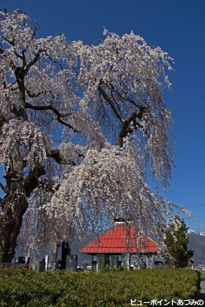 中堀薬師堂の枝垂桜