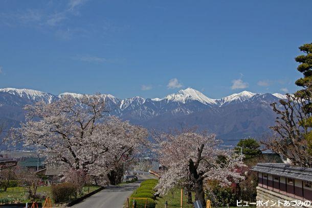 常念山系と桜