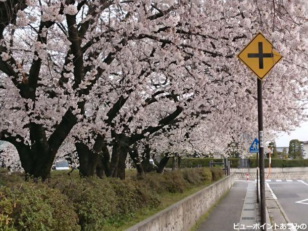 校庭の桜並木