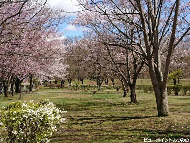 雪柳と欅と桜