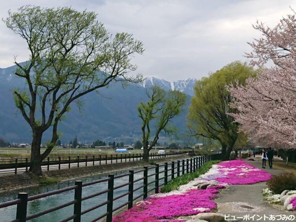芝桜と蝶ヶ岳