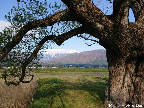 柳の大木と常念